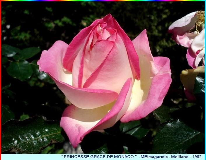 7 rose princesse grace de monaco meimagarmic 1982 c07297