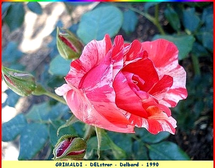 8 rose grimaldi delstror delbard 1990 07375