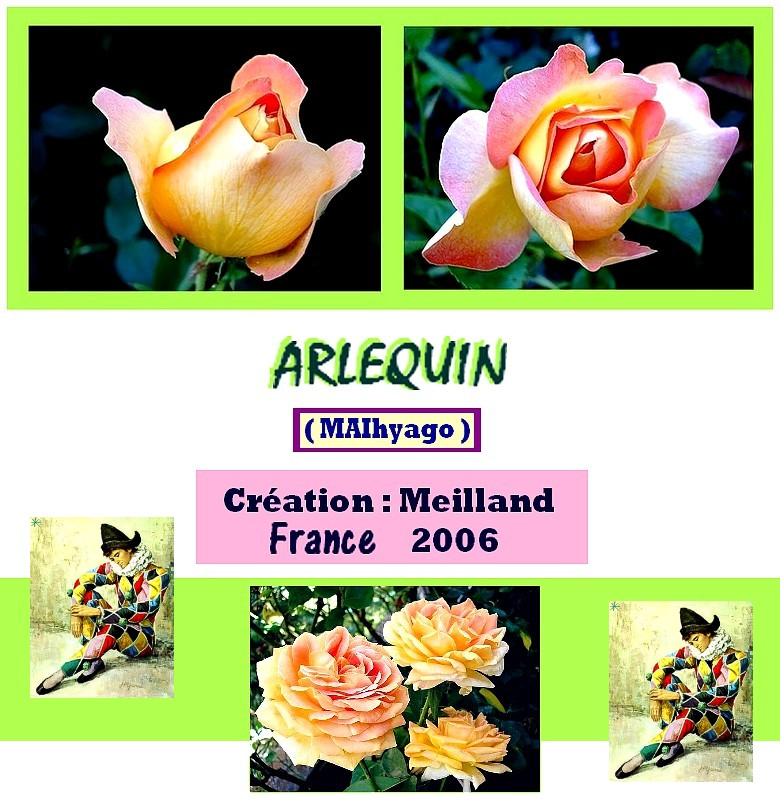 arlequin-rose-meilland-roses-passion.jpg