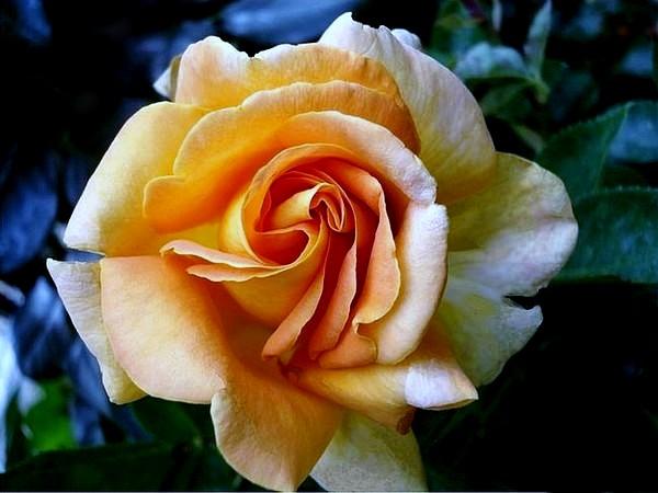 arlequin-rosesp-5500.jpg