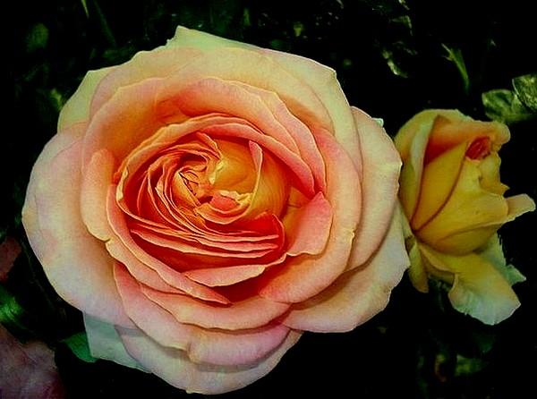 arlequin-rosesp-5501.jpg