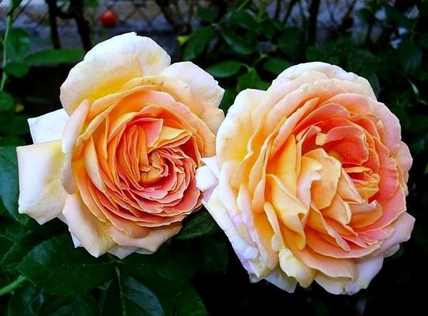 arlequin-rosesp-5502.jpg