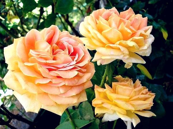 arlequin-rosesp-5503.jpg