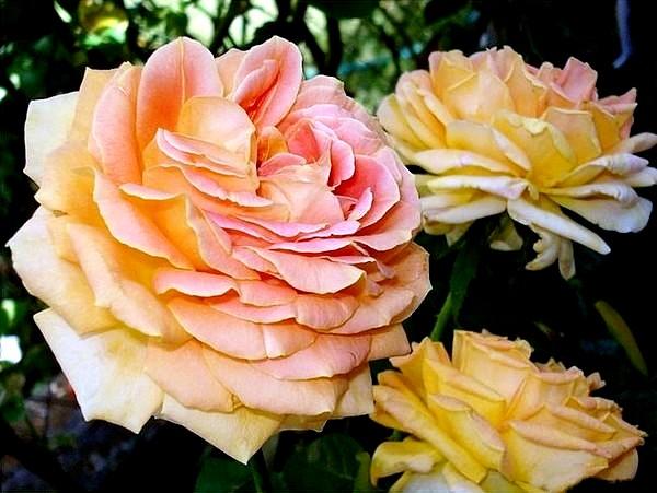 arlequin-rosesp-5504.jpg