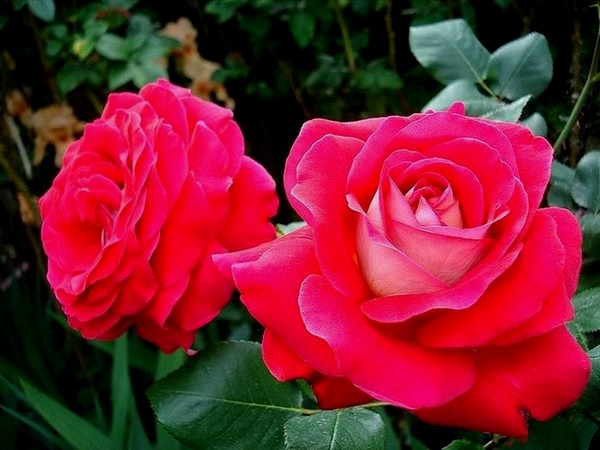 atalante-rose-2204.jpg