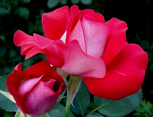 atalante-rose-2205.jpg