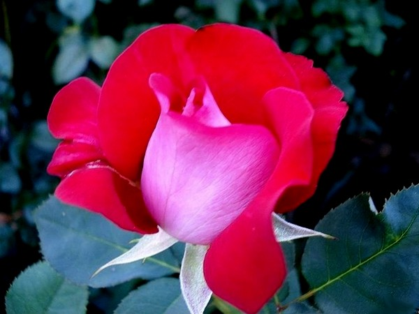 atalante-rose-2206.jpg