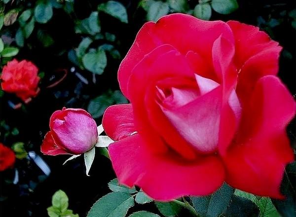 atalante-rose-2207.jpg