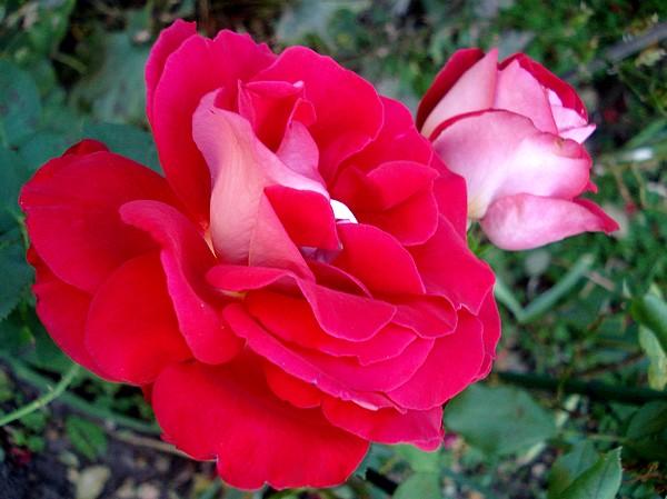 atalante-rose-2214.jpg