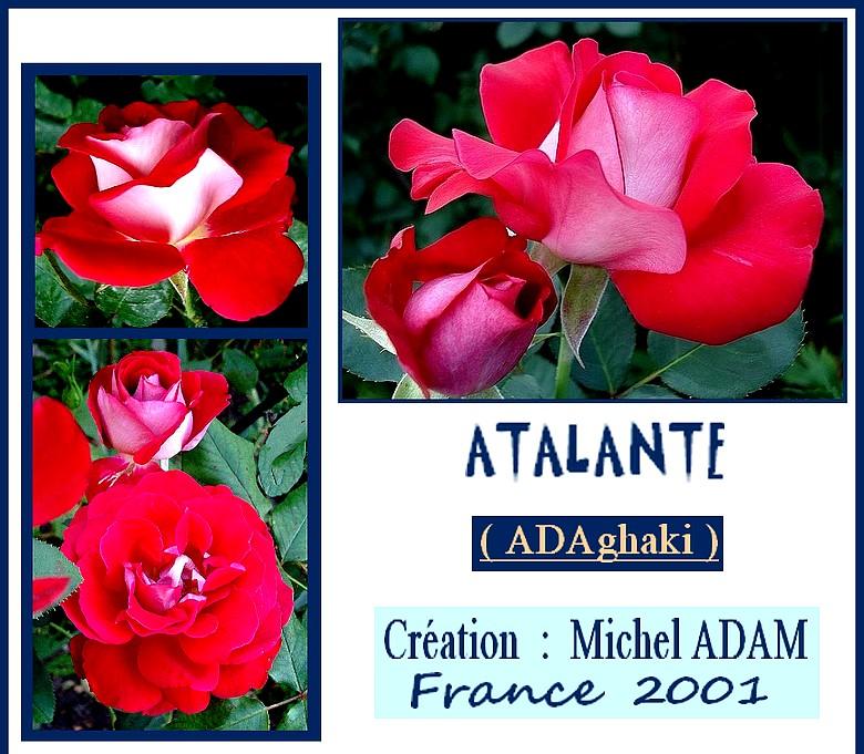 atalante-rose-roses-passion.jpg