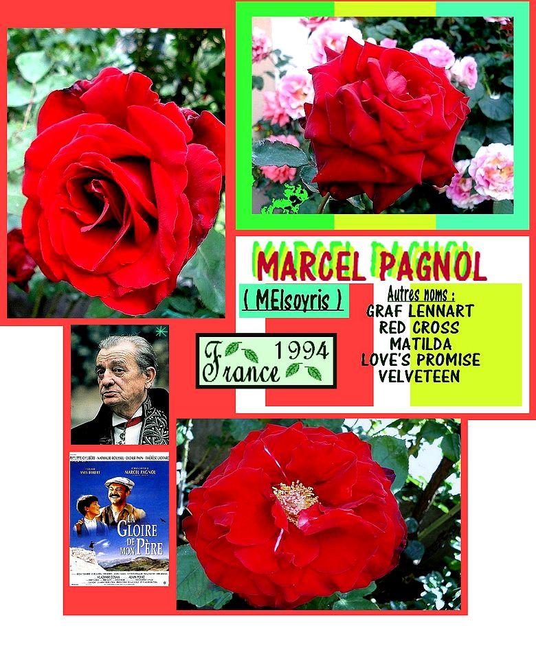 belle-rose-rouge-marcel-pagnol-roses-passion-2522.jpg