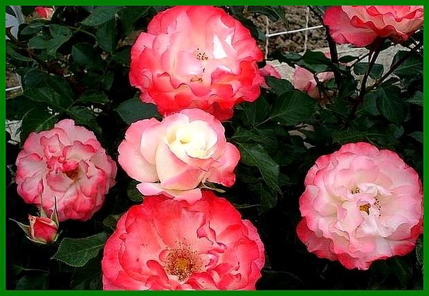 carmagnole-rose-delrobla-roses-passion-2229.jpg