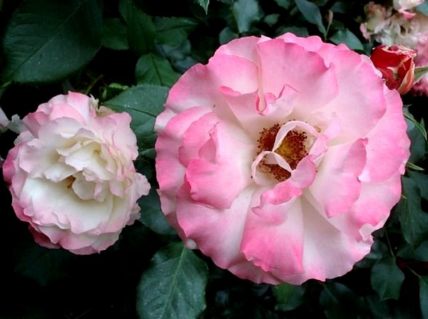 carmagnole-roses-passion-2223.jpg