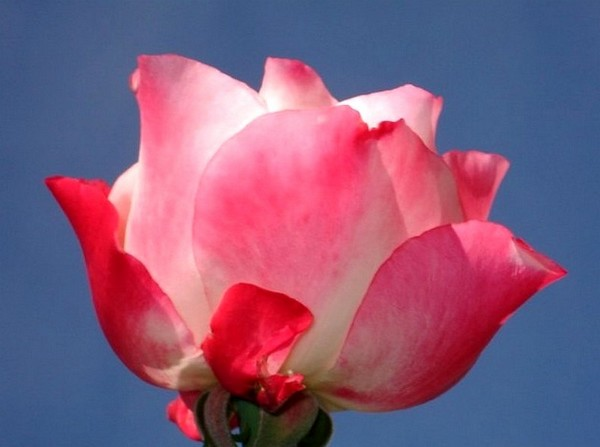 carmagnole-roses-passion-2225.jpg