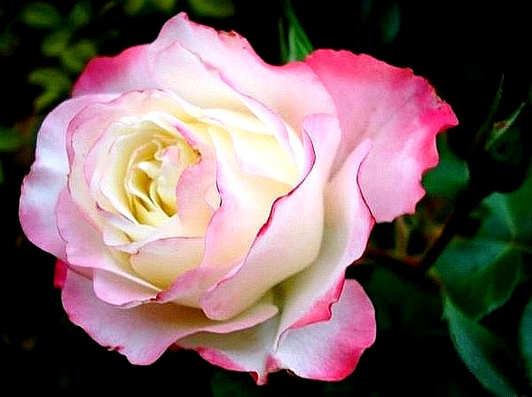 carmagnole-roses-passion-2226.jpg