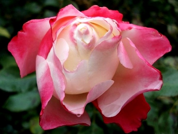 carmagnole-roses-passion-2227.jpg