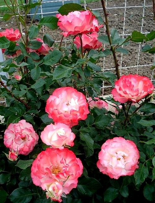 carmagnole-roses-passion-2228.jpg