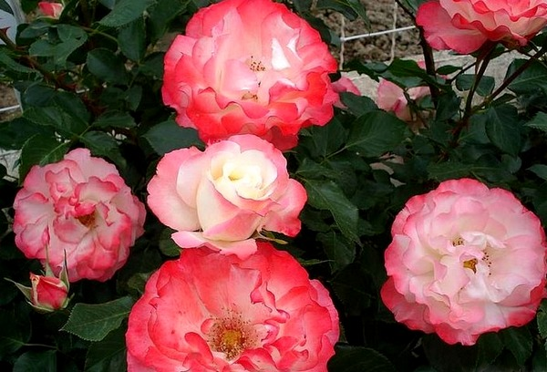 carmagnole-roses-passion-2229.jpg