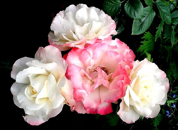 carmagnole-roses-passion-2230.jpg