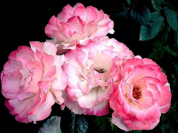 carmagnole-roses-passion-2231.jpg