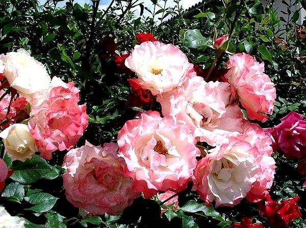 carmagnole-roses-passion-2232jpg.jpg