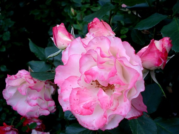 carmagnole-roses-passion-2233.jpg