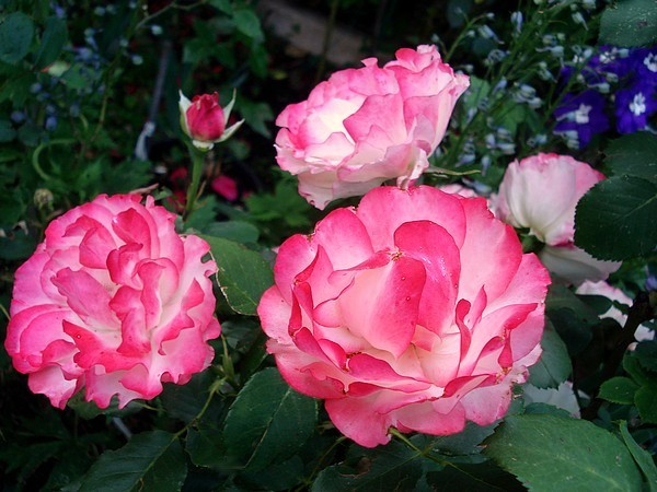 carmagnole-roses-passion-2235.jpg
