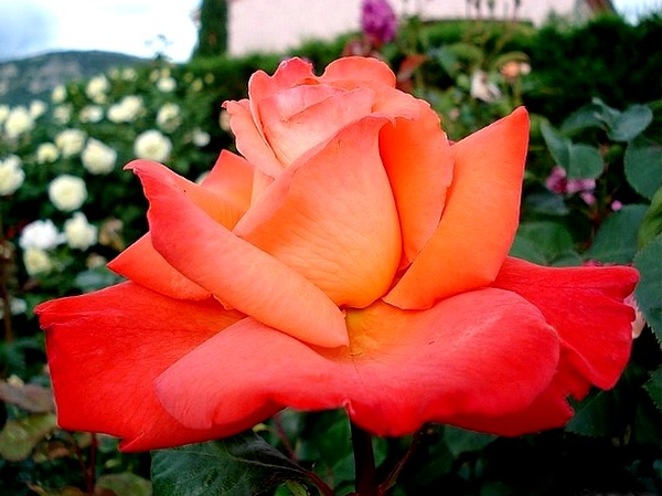 christophe-colomb-roses-passion-2894.jpg