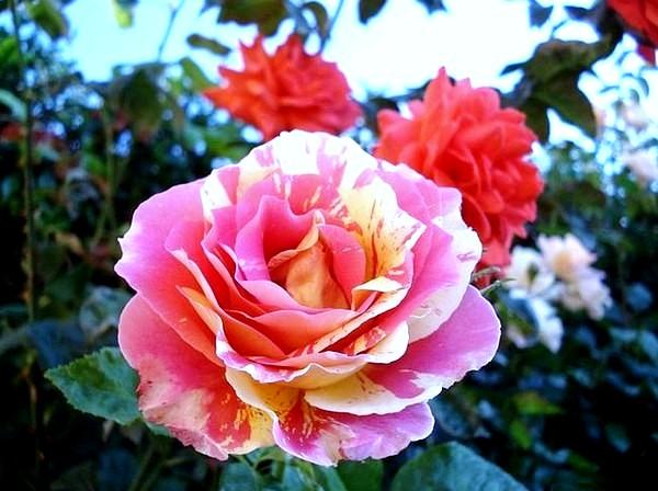 claude-monet-12-roses-passion-2236.jpg