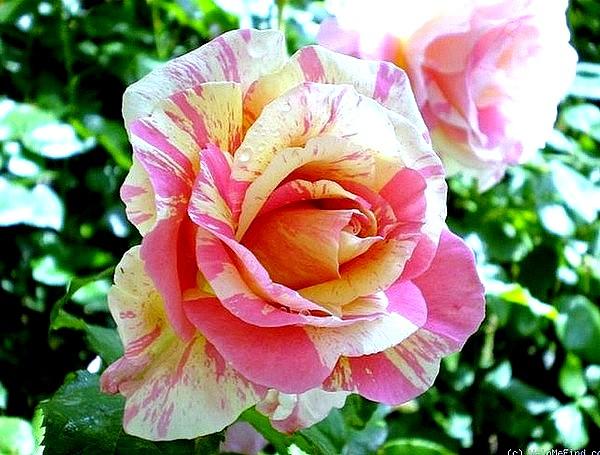 claude-monet-3-roses-passion-2234.jpg