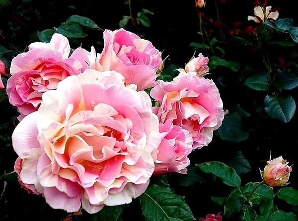 claude-monet-7-roses-passion-2228.jpg