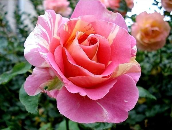 claude-monet-9-roses-passion-2232.jpg