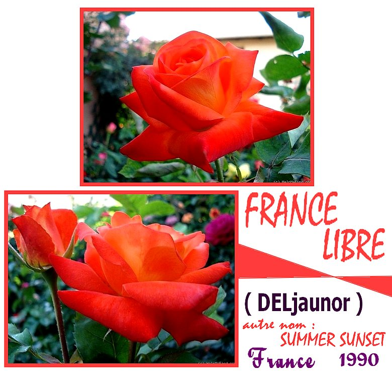 france-libre-rose-delbard-belle-rose-orange-deljaunor-roses-passion.jpg