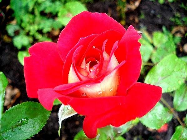 gipsy-rose-2650.jpg