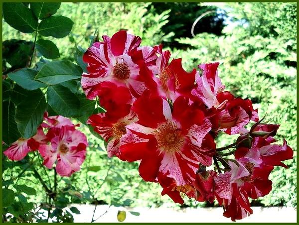 hanabi-roses-passion-03085.jpg