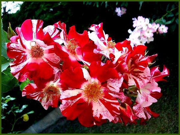 hanabi-roses-passion-03100.jpg