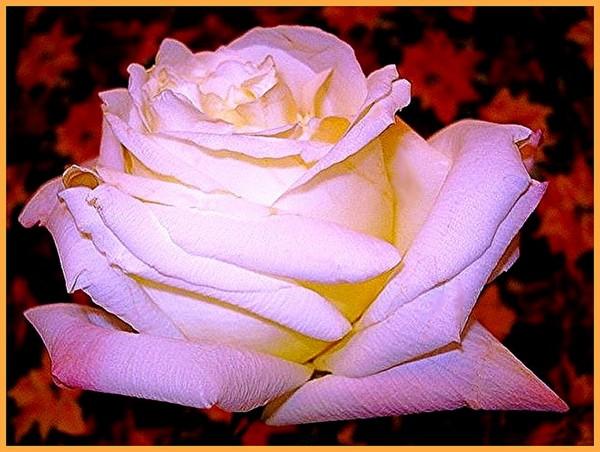 imperatrice-farah-rose-2265.jpg