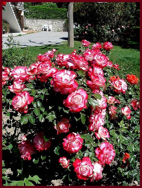 jubile-du-prince-de-monaco-rose-roses-passion-04086.jpg