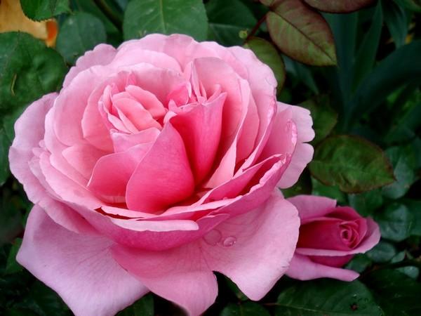 line-renaud-roses-passion-04113.jpg