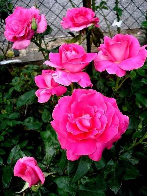 manou-meilland-rosesp-02694.jpg