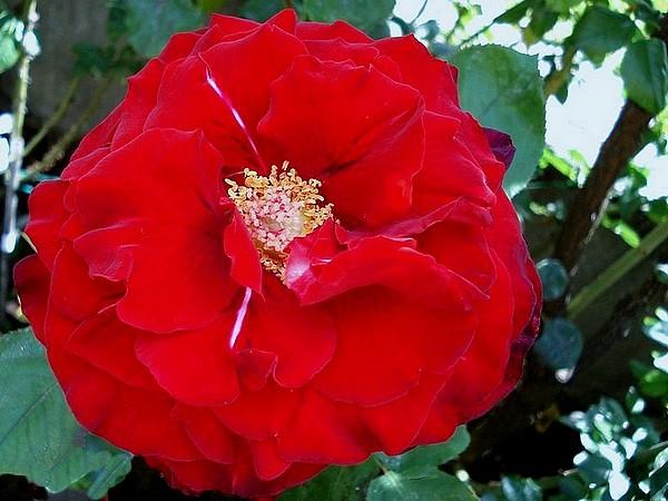 marcel-pagnol-rosesp-2517.jpg