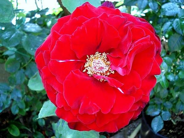 marcel-pagnol-rosesp-2518.jpg