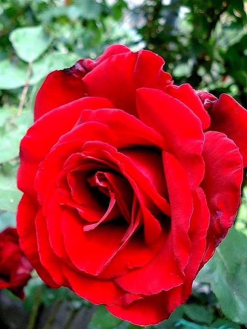 marcel-pagnol-rosesp-2519.jpg