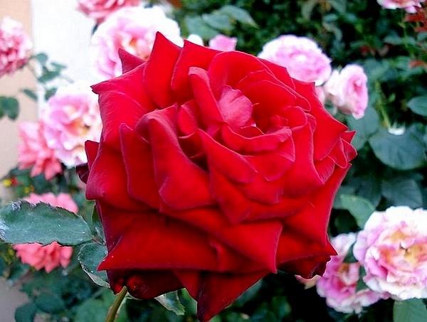 marcel-pagnol-rosesp-2522.jpg