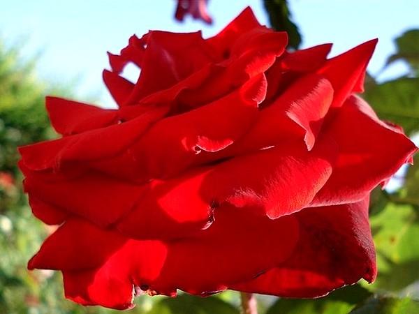 marcel-pagnol-rosesp-2524.jpg