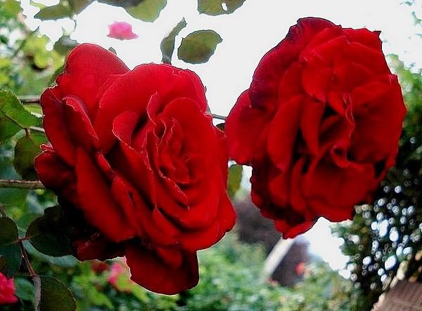 marcel-pagnol-rosesp-2525-1.jpg
