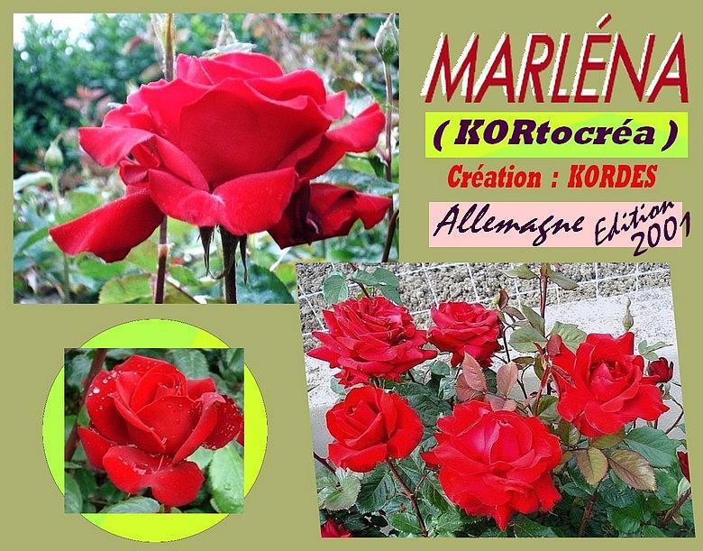 marlena-rose-celebrites-roses-passion-kortocrea.jpg