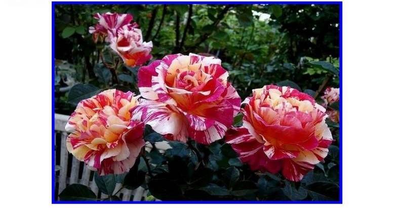 maurice-utrillo-rose-delstavo-artista-panarose-roses-passion-2.jpg