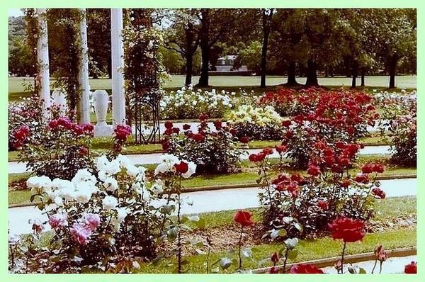 parc-tete-d-or-roseraie-concours-6.jpg