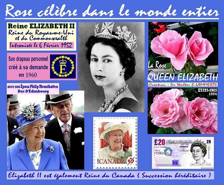 queen-elizabeth-rose-lammerts-etats-unis-1954-roses-passion.jpg